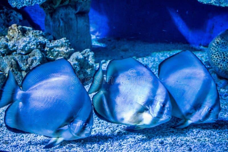 Big aquarium fish orbicular batfish stock photo