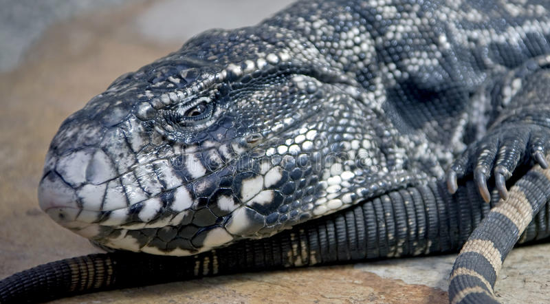 Download Big argentinian teju 9 stock image. Image of reptile - 14215767
