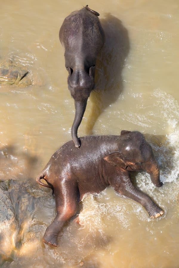 Big Asian elephants. Wild nature of Sri Lanka stock images