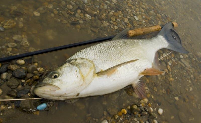Download Big Asp stock photo. Image of trophy, nature, reel, flyfishing - 7719262