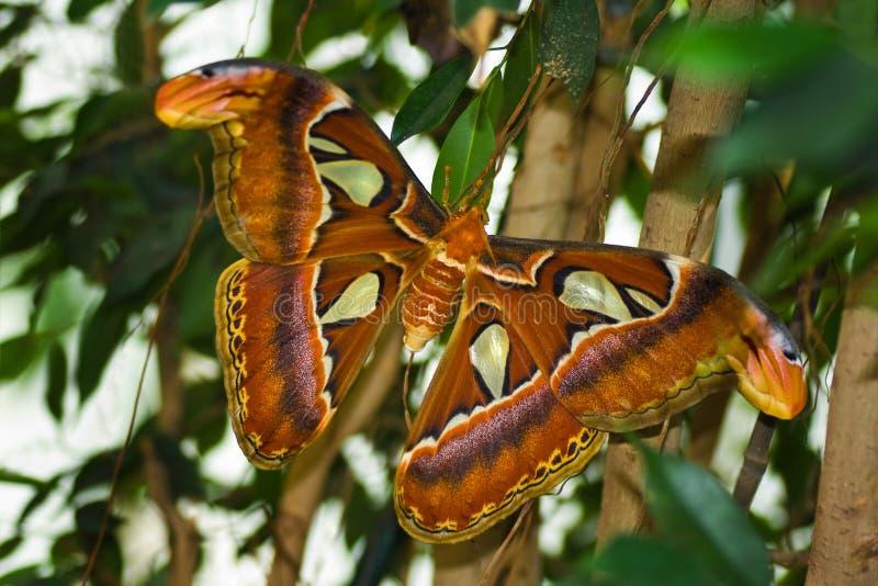 Big Atlas moth or Attacus atlas stock images