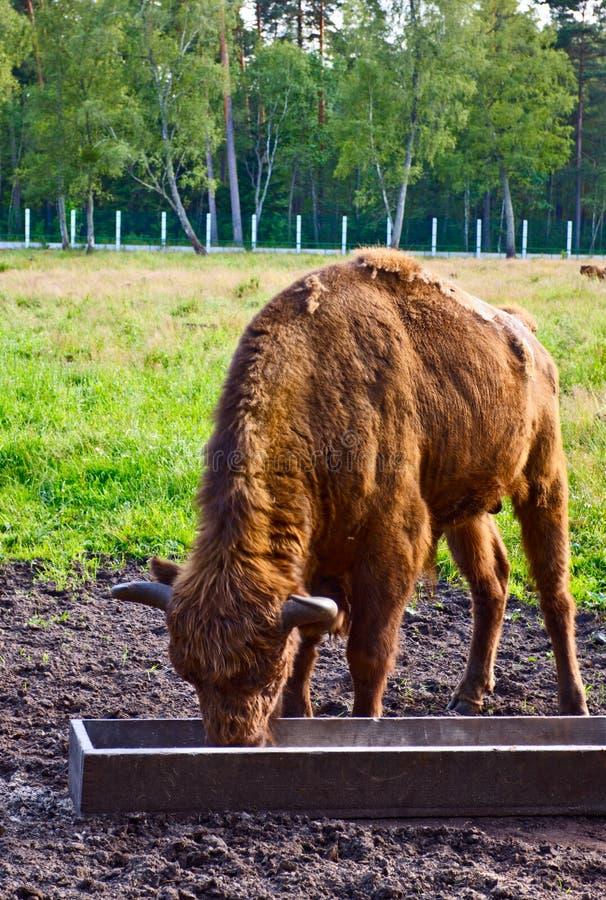 Download Big Aurochs Stock Photos - Image: 19394563
