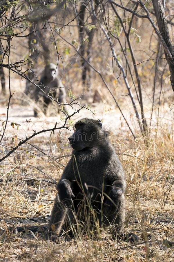 Big baboon in Namibia royalty free stock images