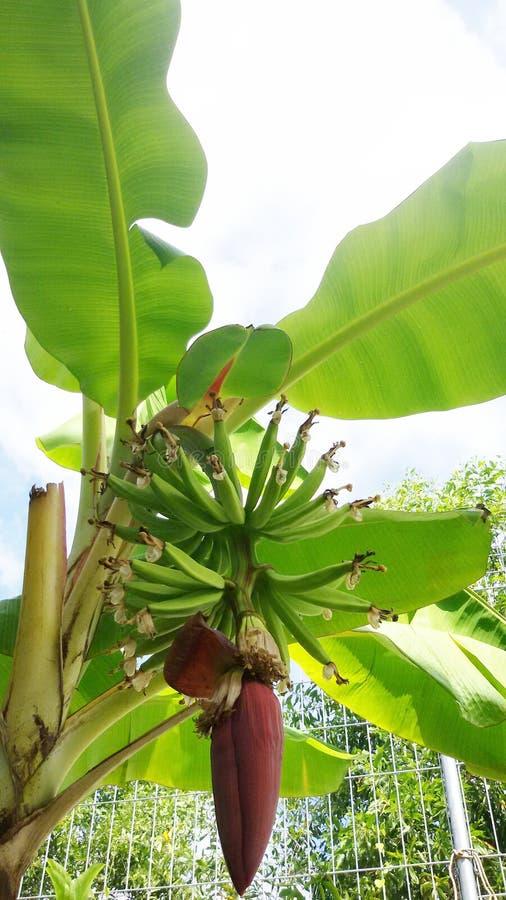 Big banana leaves stock image