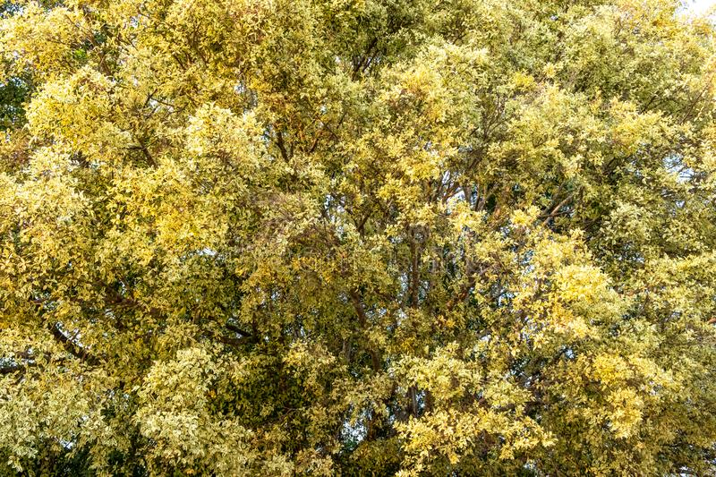 A big banyan tree with spotted leaves in light green and yellow colors as abstract background. royalty free stock photo