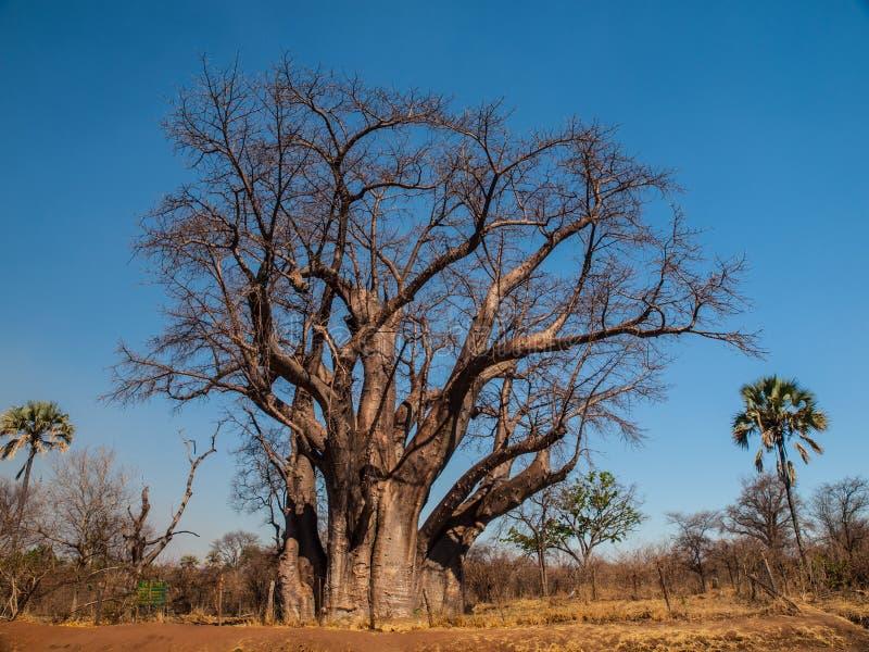 Big baobab tree. Near Victoria falls (Zimbabwe royalty free stock photos