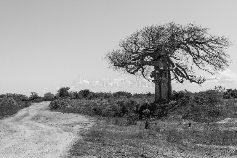 Big baobab tree surrounded by African Savannah with dirt track n. Ext to it. Black and white stock images