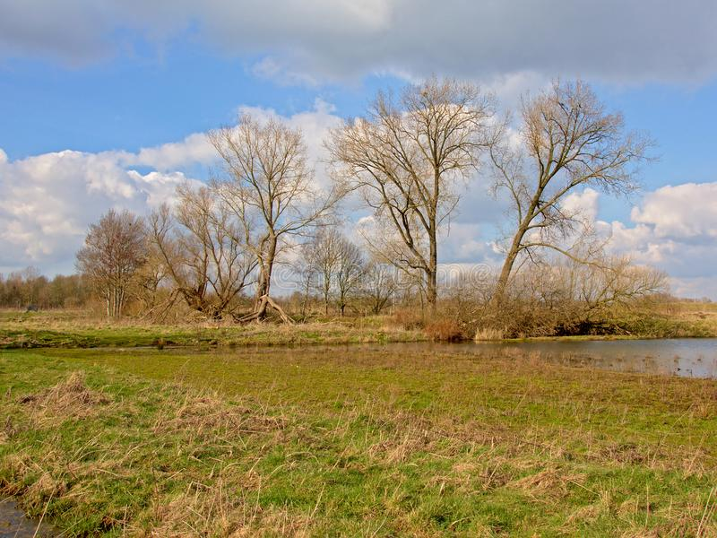 Big bare trees in a meadow in a sunny winter marsh royalty free stock image