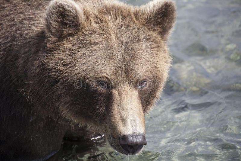 Big Bear image stock