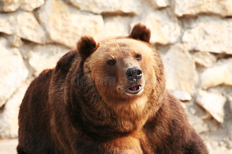 Big bear. Big brown Bear closw up royalty free stock photo