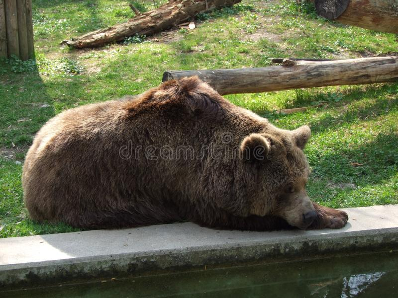 Big bear in the green grass. Big bear animal Brown green grass wild nature zoo sleeping royalty free stock images