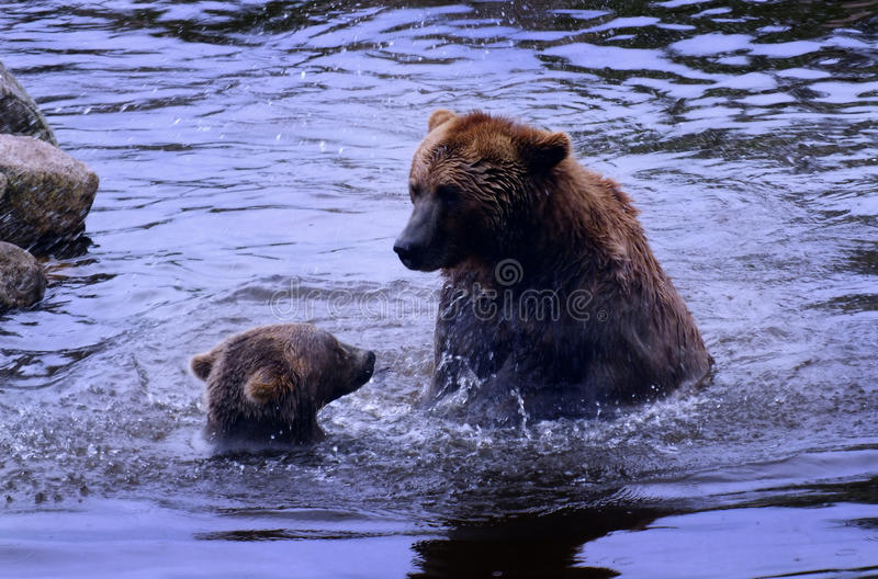 A big bear fighting small bear. A big bear and a small bear in the water royalty free stock photo