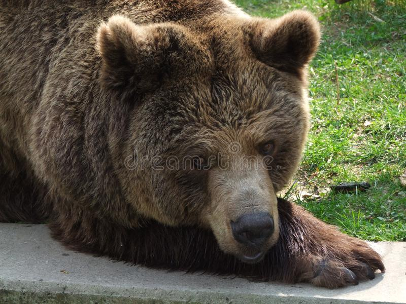 Big bear in the green grass. Big bear animal Brown green grass wild nature zoo sleeping stock photography