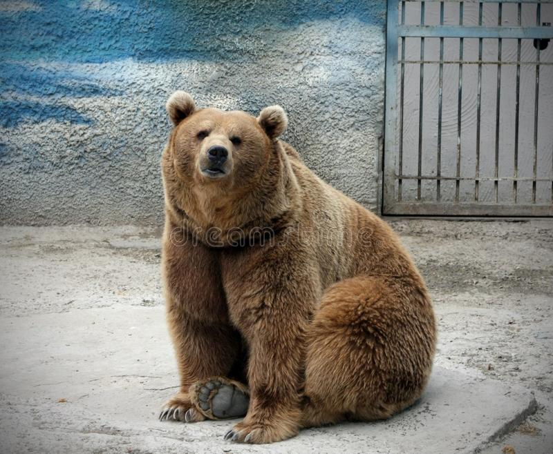 The big bear looks in the camera. On a bluen background taiga tsar a russian stock image