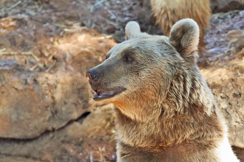 Big Bear posing for visitors in the park. Safari in Tel Aviv royalty free stock photography