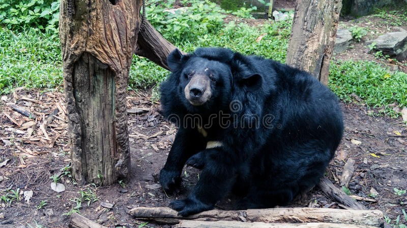 Big bear. Sit and wait some food royalty free stock photography