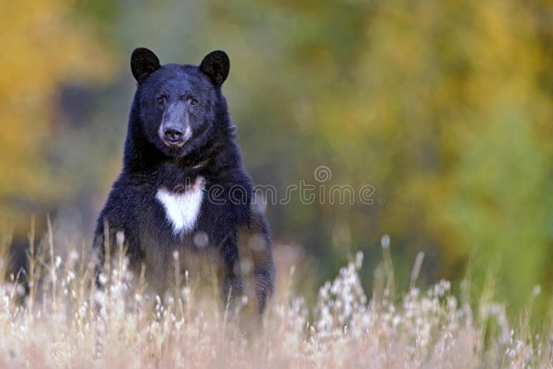 Big Bear sur la surveillance photo stock
