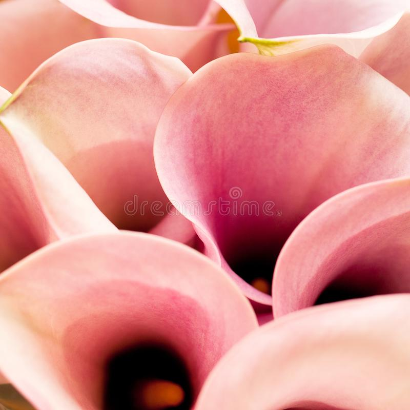 Several beautiful pink callas. Big beautiful bouquet of unusual wonderful pink callas stock photos