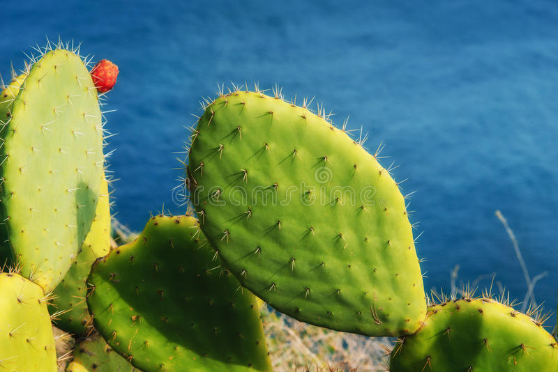 Big beautiful cactus on the background of the sea. Big beautiful cactus on the background of the sea stock image