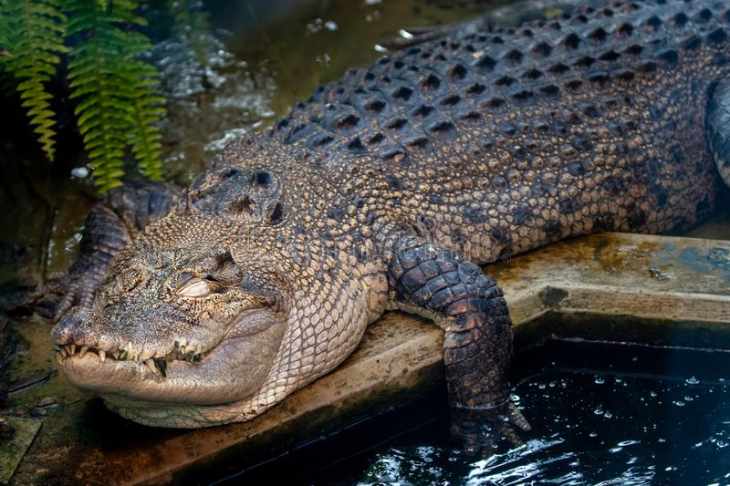 Big beautiful crocodile with closed eyes resting sleeps by the water. Big teeth stick out. One paw in the water stock images