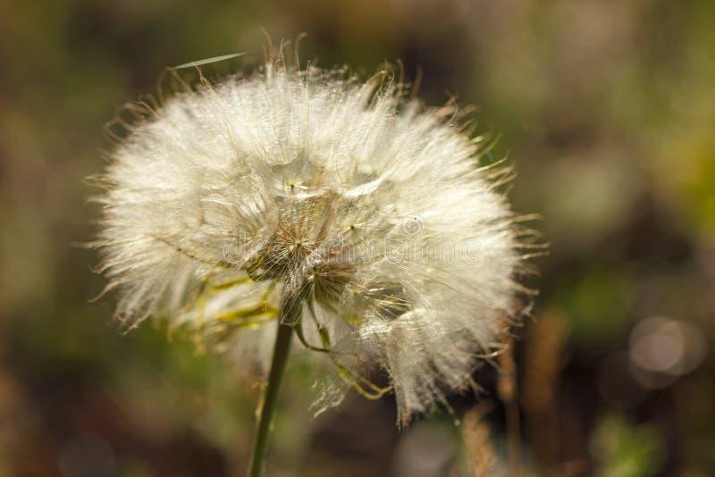 Big beautiful dandelion closeup. Green royalty free stock images