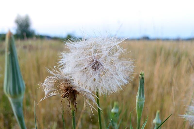 Big beautiful dandelion on the field. Summer wildflowers. Close up stock photos