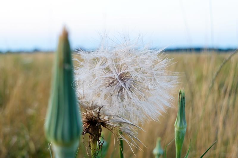 Big beautiful dandelion on the field. Summer wildflowers. Close up stock images