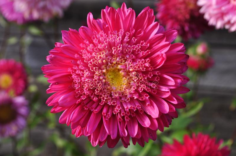 Big beautiful flower pink aster, macro royalty free stock images