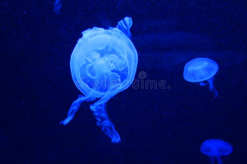 A big jellyfish in aquarium. A big and beautiful jellyfish in the aquarium of the zoo royalty free stock image