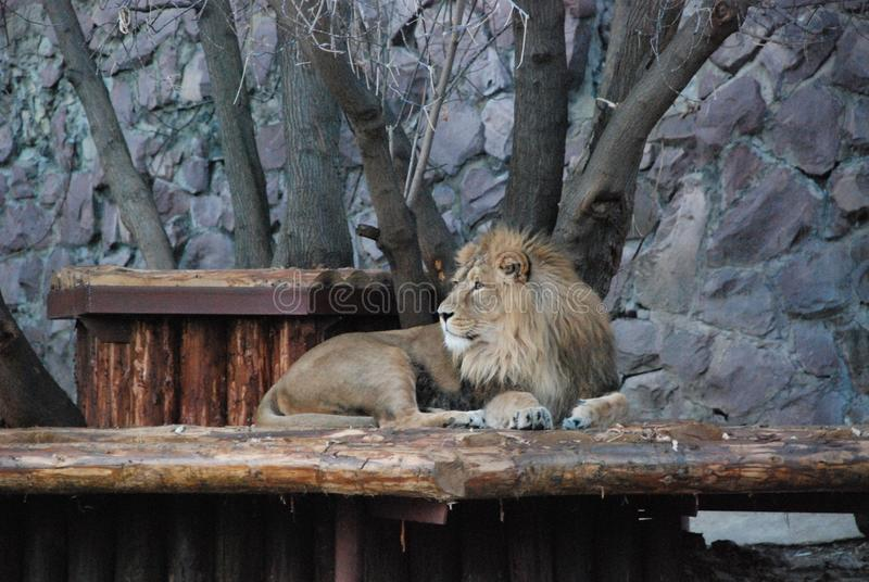 Big beautiful lion in the Moscow zoo stock image