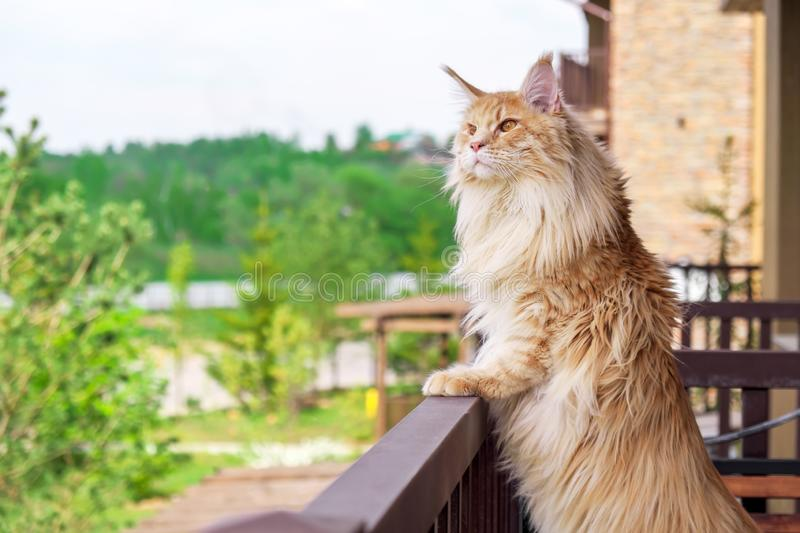 Big beautiful Maine Coon cat standing on the balcony and watching what`s going on outside.  stock photography