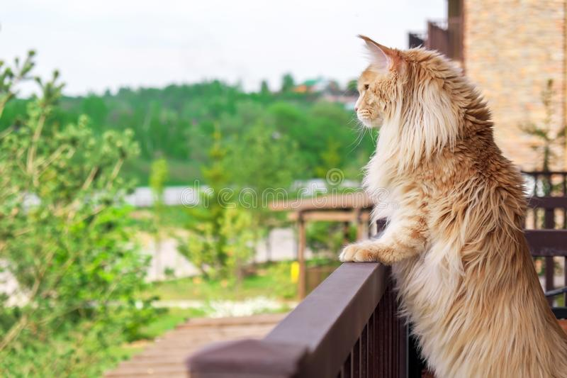 Big beautiful Maine Coon cat standing on the balcony and watching what`s going on outside.  stock photos