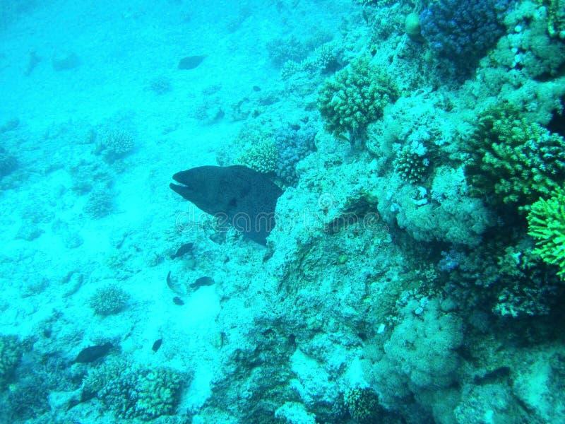 Big beautiful Murena fish, Egypt 库存照片