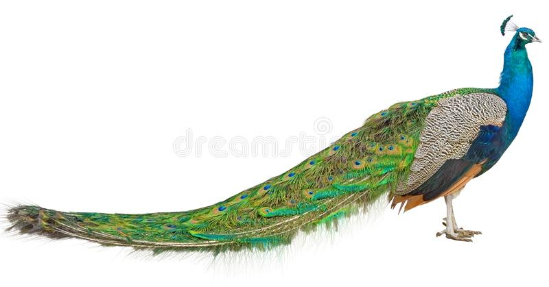 The big Beautiful Peacock on white royalty free stock images