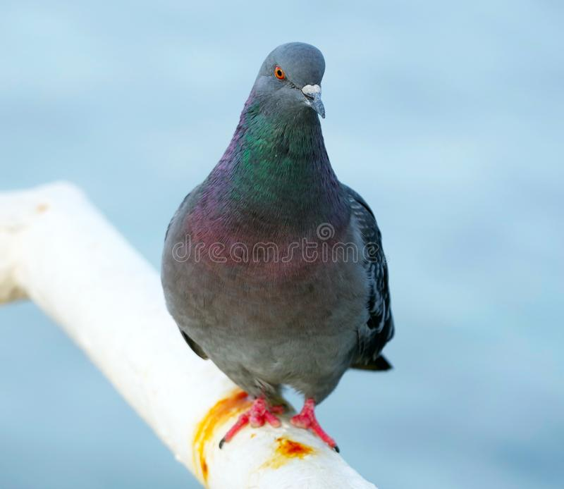Big Beautiful pigeon. He looks at you sternly stock photos