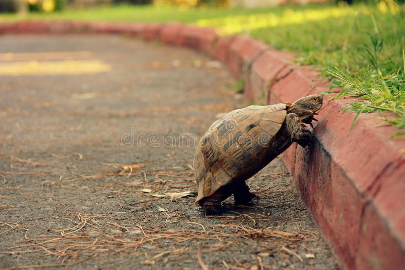Big and beautiful turtle on the pavement. One turtle crosses the road. Overcoming difficulties. Road and curb. Animals are creepy stock photos