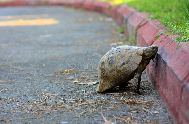 Big and beautiful turtle on the pavement. One turtle crosses the road. Overcoming difficulties. Road and curb. Animals are creepy stock photography