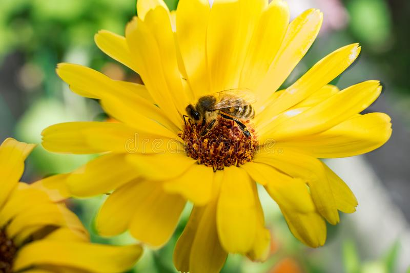 Big Bee on a beautiful yellow flower collecting nectar pollen to produce honey , the insect life in the summer royalty free stock photo