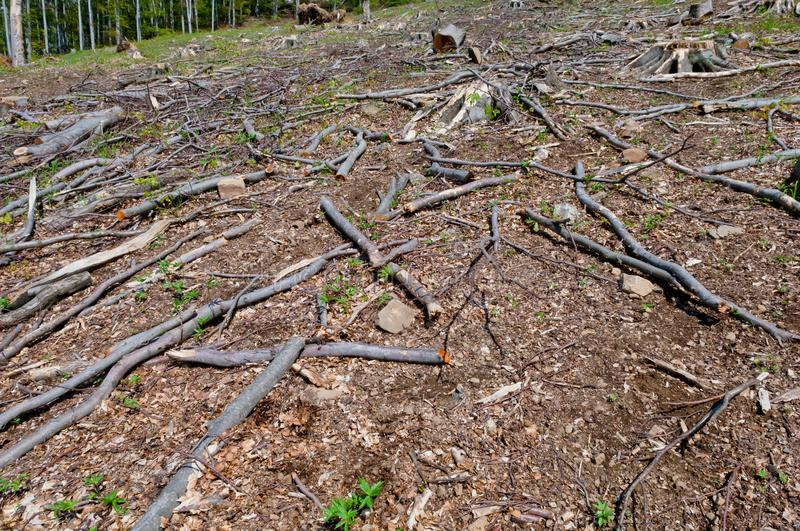 Beech tree stumps, logs and branches in a clearcut area. Big beech tee stumps, logs and branches in a clearcut area stock images