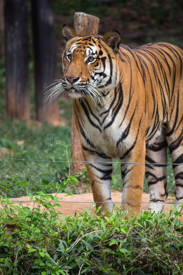 Big Bengal Tiger standing in the green grass field looks so strong. Tiger standing in the field stock photography