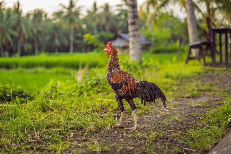 Big beutiful rooster walking in green grass royalty free stock photo