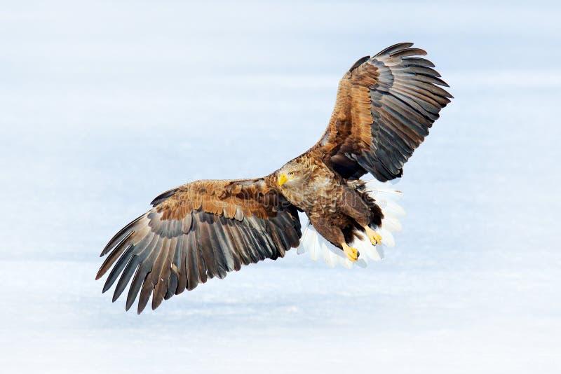 Big bird of prey on the sky. White-tailed eagle, Haliaeetus albicilla, big bird of prey on the dark blue sky, with white tail,. Japan. Action wildlife scene stock photos