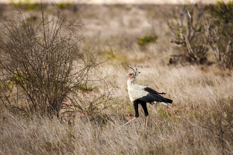 Big bird is walking in the savannah of Kenya royalty free stock photos