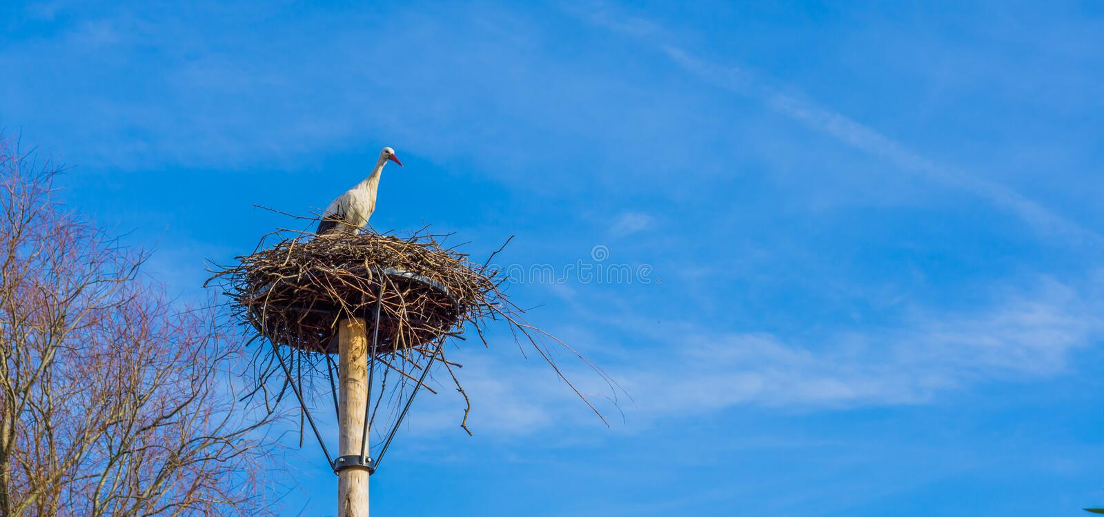 Big birds nest with a stork in it, clean and deep blue sky in the background, migrated bird from Africa stock photography