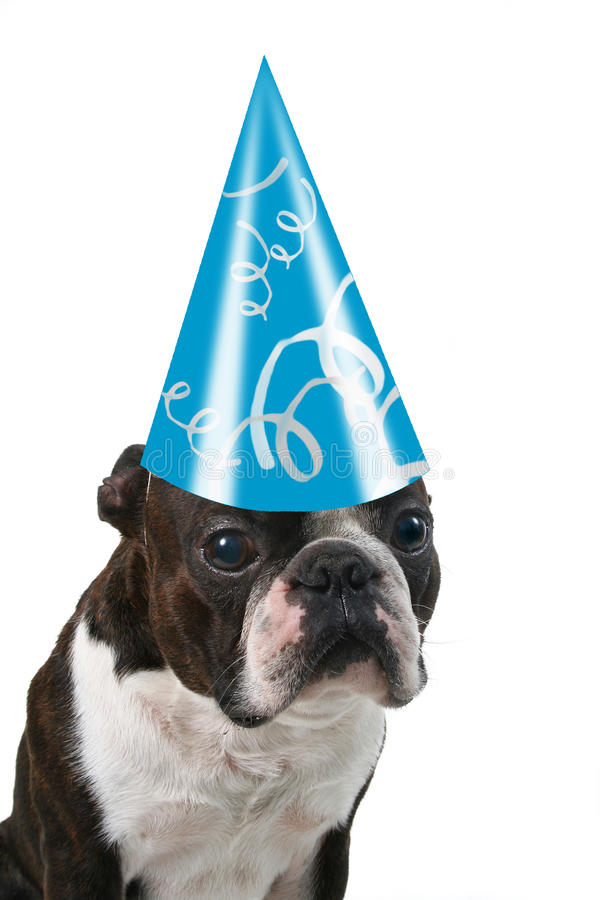 Big birthday hat. A boston terrier with a birthday hat on stock images