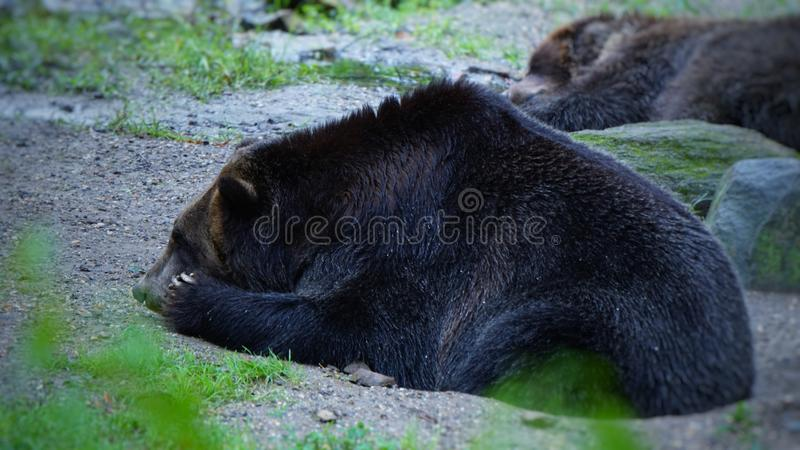 A big black bear in a daze. One of the top ten zoos in the world bronx zoo royalty free stock photography