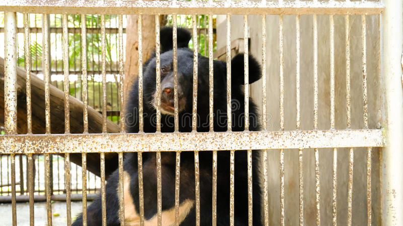 Big black bear sitting in a cage royalty free stock images