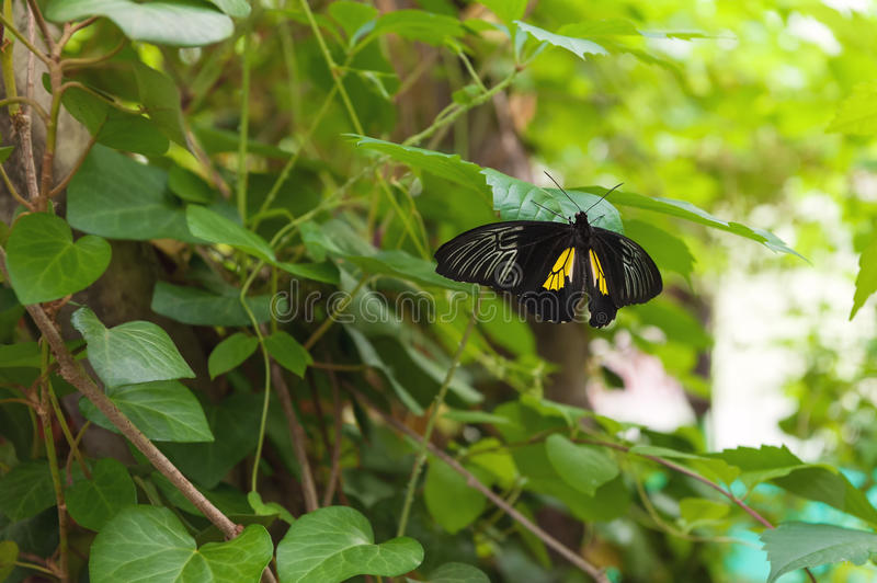 Big black butterfly on green leaf stock image