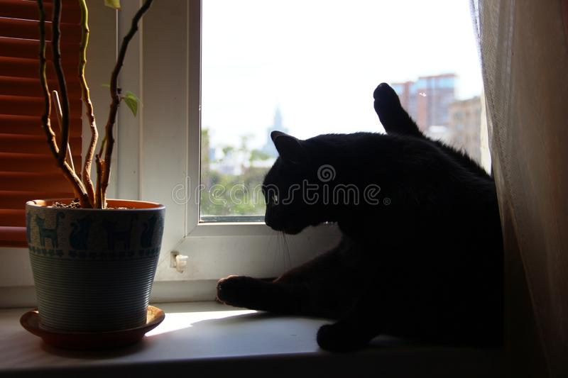 Big black cat washes on the windowsill in a Sunny afternoon. A big black cat washes on the windowsill in a Sunny afternoon stock image