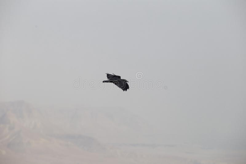 Big black crow floating on a blurred desert background. In a gray haze royalty free stock image